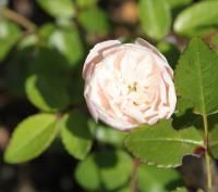 白のミニバラ