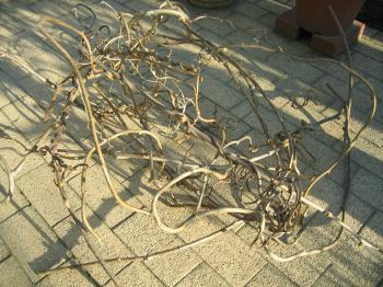 キウイの蔓