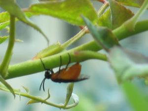 チュウレンジハバチ(成虫)