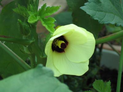 オクラの花(2008.8.13撮影)