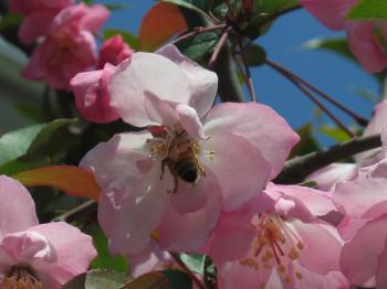 カイドウと蜂