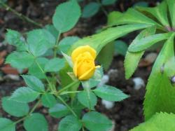 黄色のミニバラ