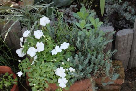 インパチェンスの鉢植え