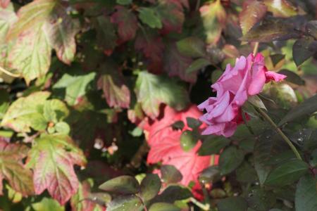 カシワバアジサイの紅葉