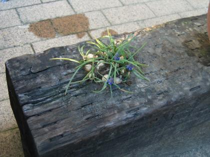 枕木の上のムスカリ
