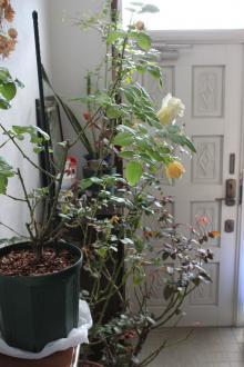 避難中のバラ