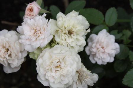 ミニバラ(白)