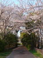桜のトンネルを歩いて花見公園へ!