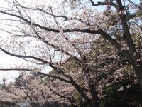 桜キレーに咲いてます!!