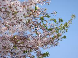 今週はずっと暖かかったので、桜も少し散っちゃいました