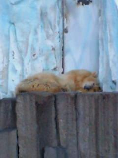 寝シロクマ