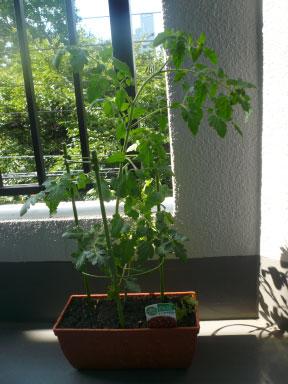 tomato090730_02.jpg