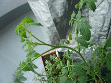 tomato090730_03.jpg