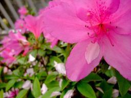 0422tutuji_pink.jpg