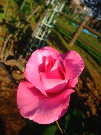 0518rose_pink1.jpg
