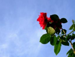 0518rose_red.jpg