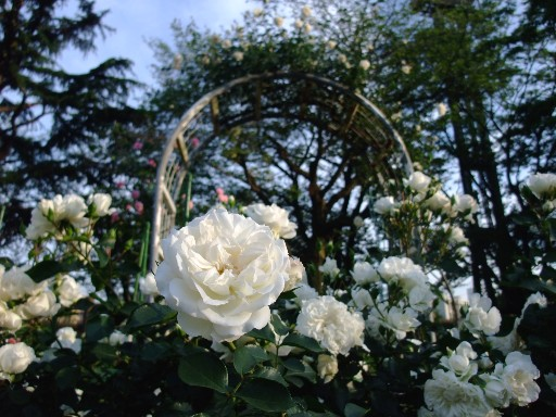 0518rose_white.jpg