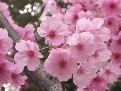 ヨコハマヒザクラの花