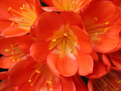 クンシランの花