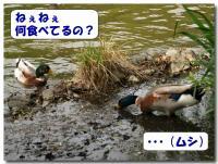 カモのお食事-2-