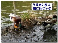 カモのお食事-4-