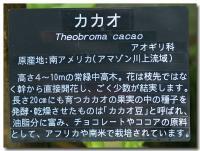 カカオ-2-