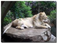 ライオン-1-