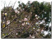 十月桜-1-