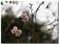 十月桜-2-