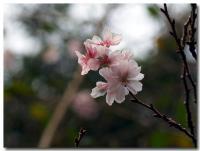 十月桜-3-
