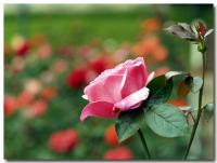 薔薇-3-