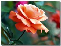 薔薇-2-