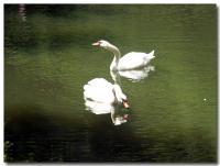 白鳥-1-