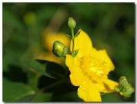 黄色い花-2-