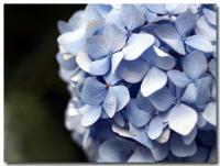 紫陽花-4-