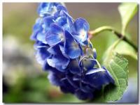 紫陽花-2-