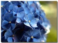 紫陽花-3-