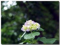 紫陽花-1-