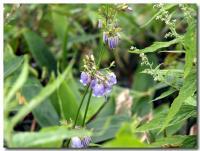 高山植物-1-