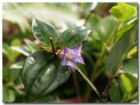 高山植物-4-
