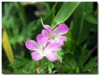 高山植物-2-