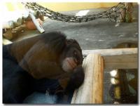 チンパンジーの足-1-