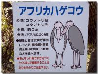 アフリカハゲコウ-1-