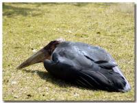 アフリカハゲコウ-3-