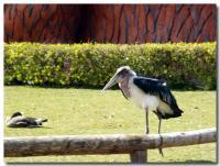アフリカハゲコウ-4-