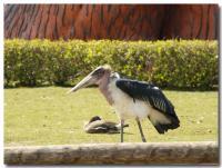 アフリカハゲコウ-5-