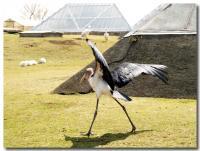怪鳥ダンス-1-