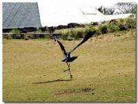怪鳥ダンス-4-