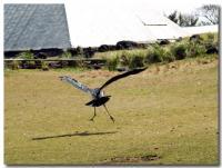 怪鳥ダンス-5-