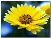 黄色い花-3-